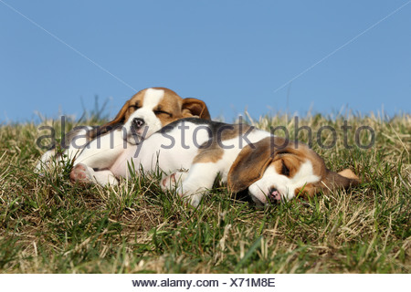 Beagle Puppies - Stock Photo