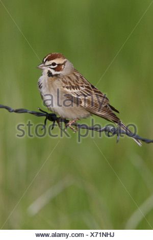 Lark Sparrow (Chondestes grammacus) perched on a barbed wire fence in Alberta, Canada. - Stock Photo