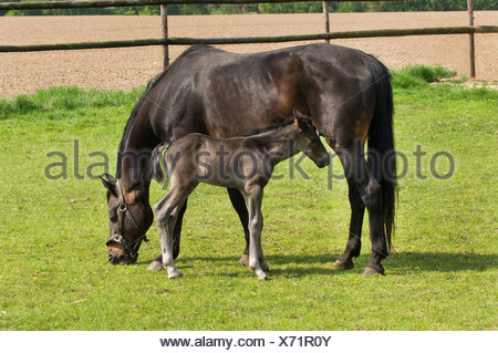 Two-day-old foal standing alongside a grazing mare - Stock Photo
