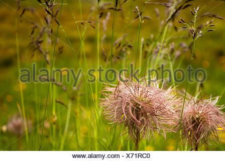 Tousled flowers. Italian Alps. Dolomites area. Italy. - Stock Photo