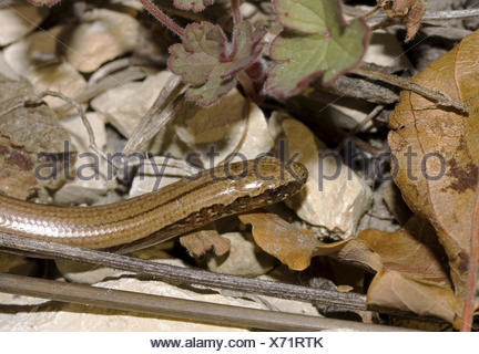 Slow worm Anguis fragilis - Stock Photo