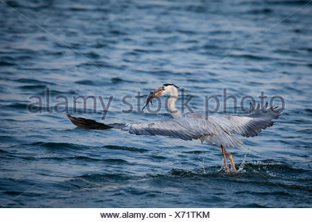 Close-up of a grey Heron holding a fish in it's beak - Stock Photo