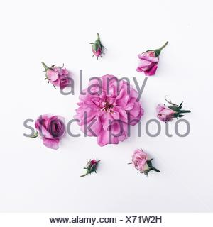 Rose buds in circle around rose head - Stock Photo