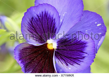 Purple pansy with dark purple center on green background  The pansy has a bright yellow center and dark stripes  The edges are - Stock Photo