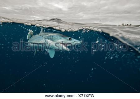 Underwater view of young mako shark struggling with fishing line, Pacific side, Baja California, Mexico - Stock Photo