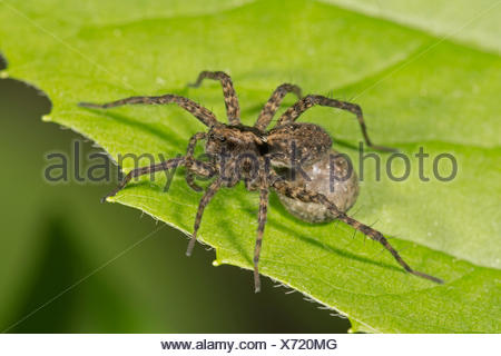 Spotted wolf spider (Pardosa amentata), female with egg sac, Baden-Württemberg, Germany - Stock Photo