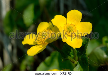 Kingcup or marsh marigold Caltha palustris flowers in spring - Stock Photo