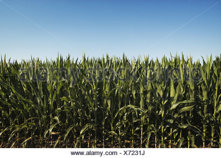 New York state USA field of tall maize plants in scenic landscape - Stock Photo