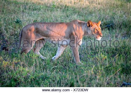 Lion, Chobe National Park, Bostwana, Africa - Stock Photo