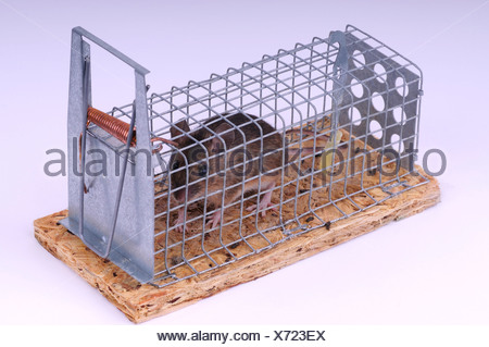 house mouse (Mus musculus), in a mousetrap