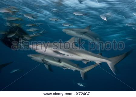 Young reef sharks are attracted to a bait box at dusk, Bahamas, Caribbean - Stock Photo
