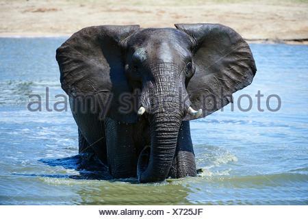 African elephant (Loxodonta africana) drinking and bathing at a watehole. Hwange National Park, Zimbabwe. - Stock Photo