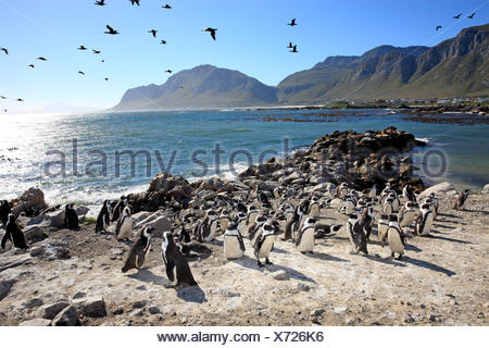 Jackass Penguin, African Penguin, colony, Stony Point, Betty's Bay, Western Cape, South Africa, Africa / (Spheniscus demersus) - Stock Photo