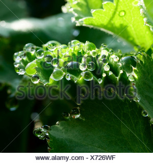 Lady's Mantle (Alchemilla vulgaris) after a rain shower - Stock Photo