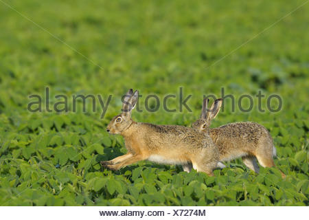 European brown hares, Germany - Stock Photo