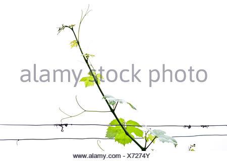 Vine, grapevine (Vitis vinifera) - Stock Photo