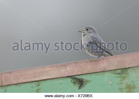 Black Redstart - Stock Photo