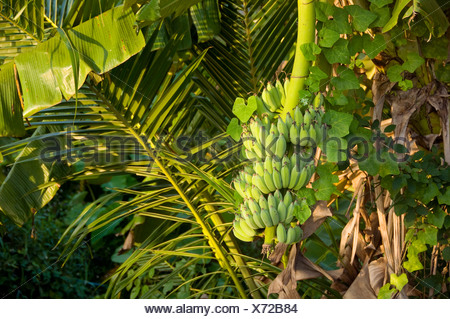 Thailand, Ko Phangan, Banana tree, close-up - Stock Photo