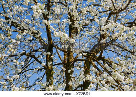 Kirschbaum im Frühling, Prunus avium, Schweiz - Stock Photo
