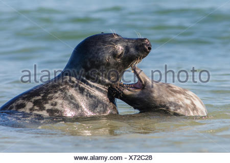 Two Seals or Harbour Seals (Phoca vitulina) playing in the North Sea, Helgoland, Helgoland, Schleswig-Holstein, Germany - Stock Photo