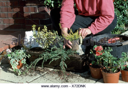 Close-up of a woman planting up a window box with trailing ivy and small conifers      FOR EDITORIAL USE ONLY - Stock Photo