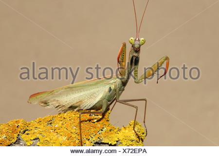 Europaeische Gottesanbeterin (Mantis religiosa), auf einem flechtenbewachsenen Stueck Holz, in Drohhaltung, Spanien | European p - Stock Photo