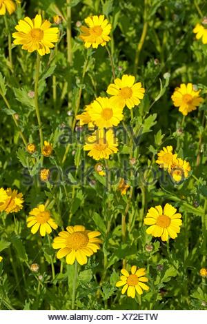 corn chrysanthemum, corn marigold (Chrysanthemum segetum, Glebionis segetum), blooming, Germany