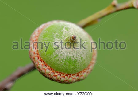 Northern Red Oak (Quercus rubra), acorn, North Rhine-Westphalia, Germany - Stock Photo