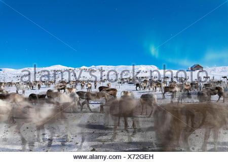 Flock of reindeer under Northern Lights, Abisko, Kiruna Municipality, Norrbotten County, Lapland, Sweden - Stock Photo