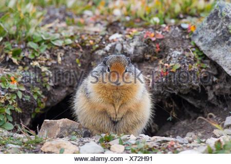 Columbian Ground Squirrel (Citellus columbianus, Spermophilus columbianus) in front of its den, Jasper Nationalpark, Canada - Stock Photo