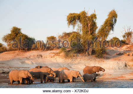 African Elephants (Loxodonta africana) breeding herd drinking at the bank of the Chobe River, in the evening light - Stock Photo