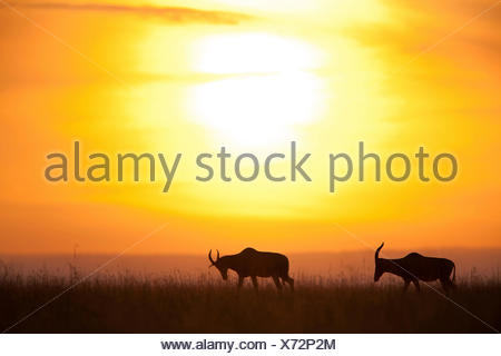 topi, tsessebi, korrigum, tsessebe (Damaliscus lunatus jimela), silhouettes of two topis at sunset, Kenya, Masai Mara National Park - Stock Photo