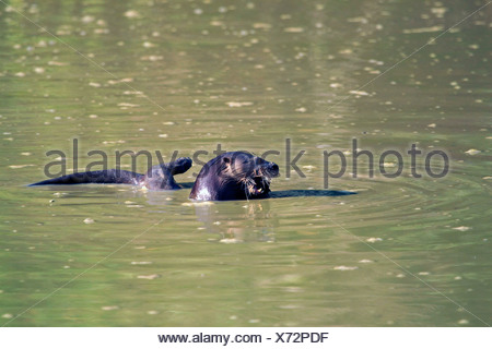 Neotropical otter, Neotropical river otter (Lontra longicaudis), feeding fish in a muddy pool, Brazil, Matto Groso, Pantanal - Stock Photo