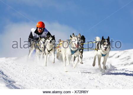 Alpine Trail Sled Dog Race 2012, Huskies, Prato Piazza alpine meadow, Fanes-Sennes-Prags Nature Park, Prags, Dolomites - Stock Photo