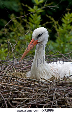 WHITE STORK ciconia ciconia, ADULT BROODING, SITTING ON NEST, NORMANDY IN FRANCE - Stock Photo