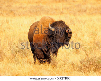 American bison, buffalo (Bison bison), bull, USA, Wyoming, Yellowstone National Park, Hayden Valley - Stock Photo
