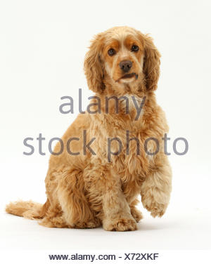 Golden Cocker spaniel dog, Henry, age 3 years, sitting with one paw raised. - Stock Photo