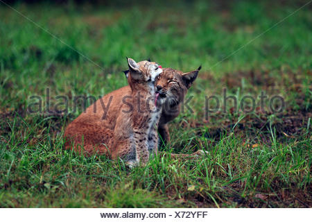 Eurasian lynx (Lynx lynx), female licking pup, Germany, Saxony - Stock Photo