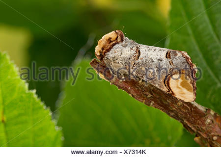 Buff-tip moth, Buff tip caterpillar (Phalera bucephala), well camouflaged on a twig, Germany - Stock Photo