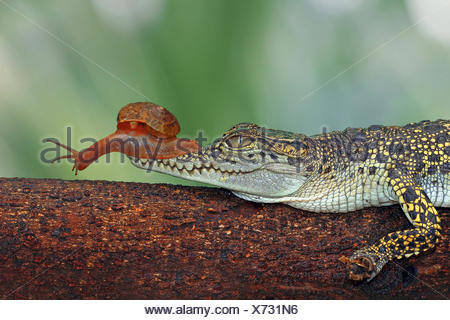 Snail sitting on crocodile snout, Indonesia - Stock Photo