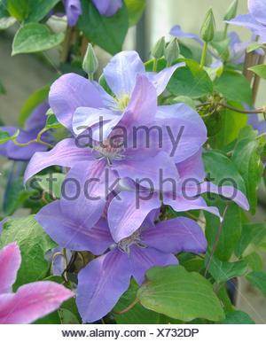 clematis, virgins-bower (Clematis 'General Sikorski', Clematis General Sikorski), cultivar General Sikorski, blooming - Stock Photo