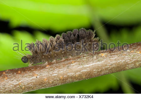 rosy footman (Miltochrista miniata), caterpillar, Germany - Stock Photo