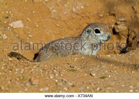 ground squirrels, susliks, sousliks (Citellus spec., Spermophilus spec.), young at den, USA, Arizona, Phoenix - Stock Photo