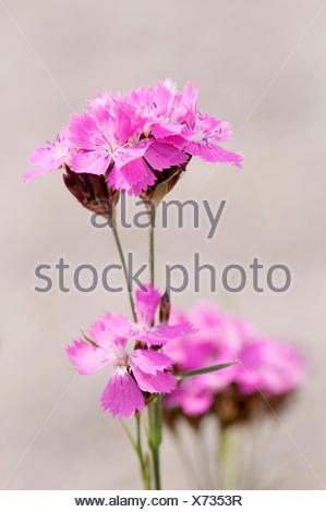 Pink, Carthusian pink, Dianthus carthusianorum. - Stock Photo