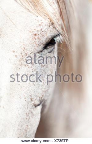 pre pura raza espanola horse portrait outdoors - Stock Photo
