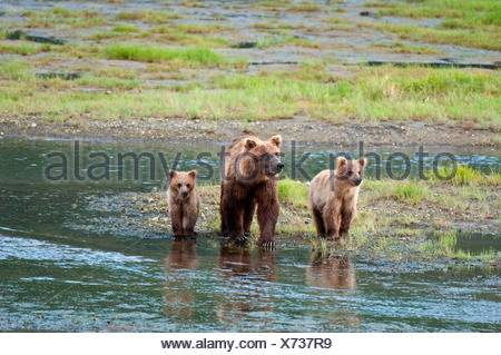 Brown Bear sow walks across a stream with her spring cubs in Chinitna Bay, Lake Clark National Park, Southcentral Alaska, Summer - Stock Photo