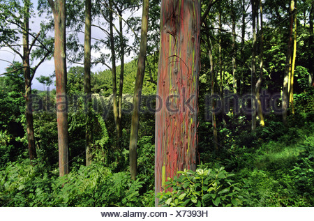rainbow eucalyptus, Painted eucalyptus (Eucalyptus deglupta), The green and red bark is one of natures incredible visual deligh - Stock Photo