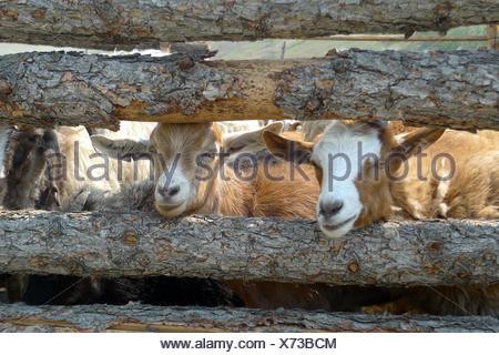 Goats peeking through a wooden fence - Stock Photo