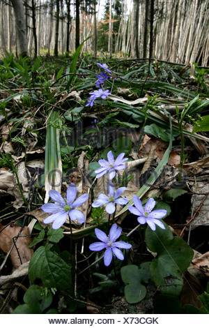 Blue flowers on the forest ground - Stock Photo