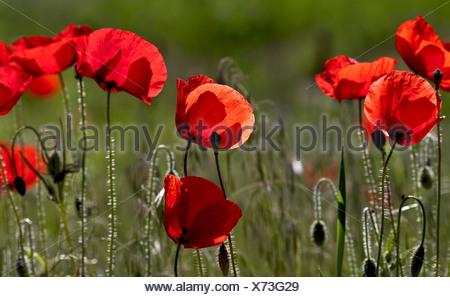 Mohnblumen Papaver Rhoeas - Stock Photo